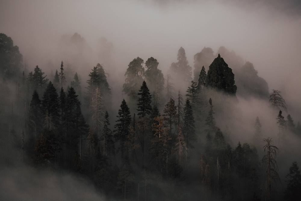 fog in between trees