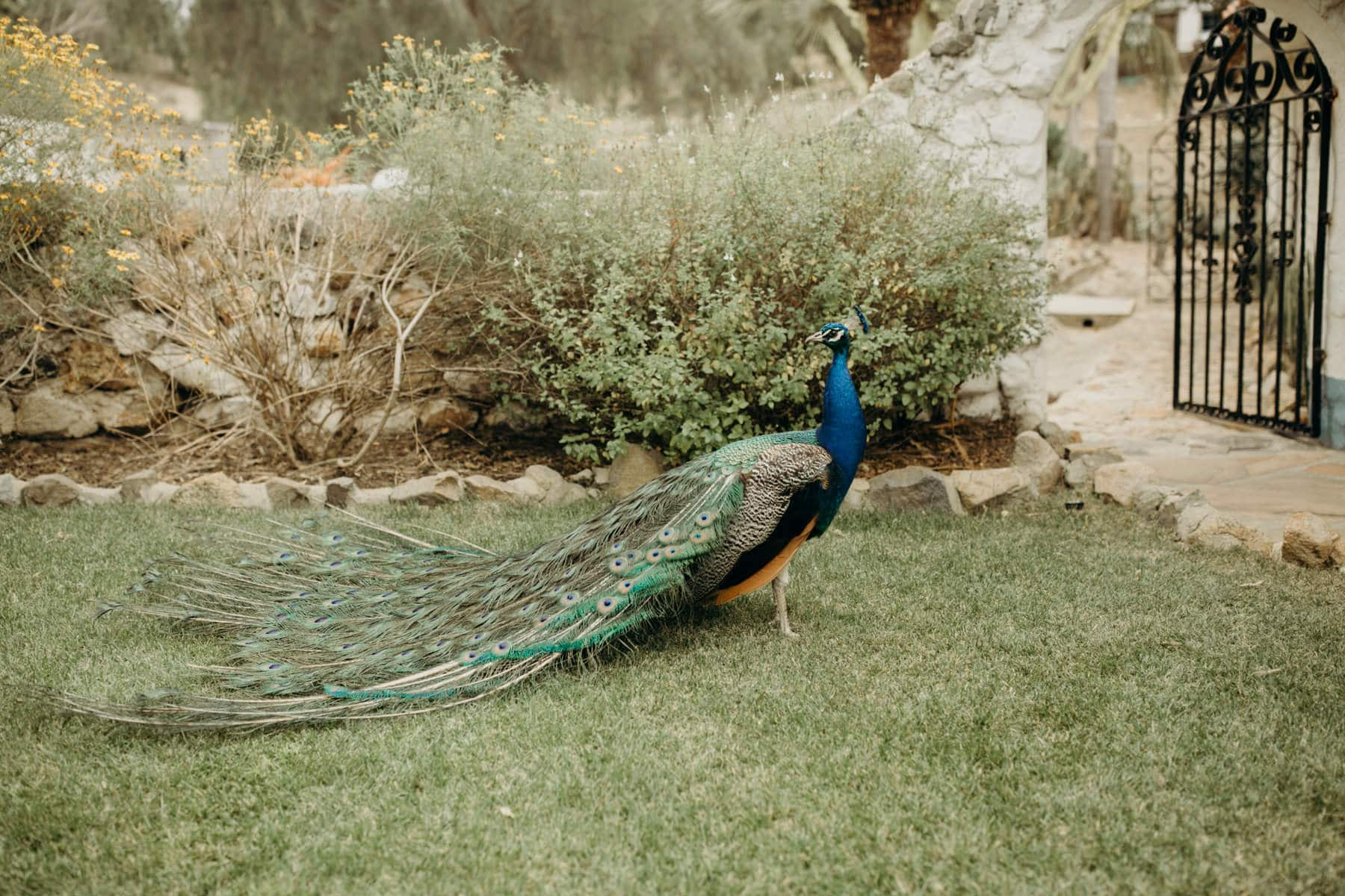 peacock at leo carrillo ranch